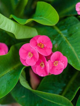 doornenkroon: Kroon doornen bloem