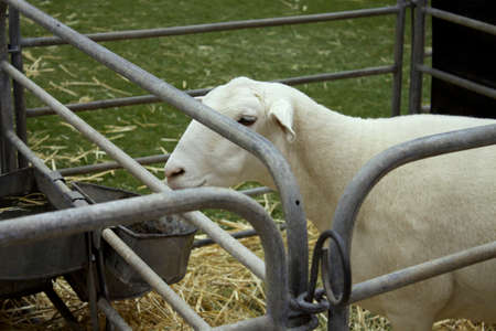 Sheep in the cage