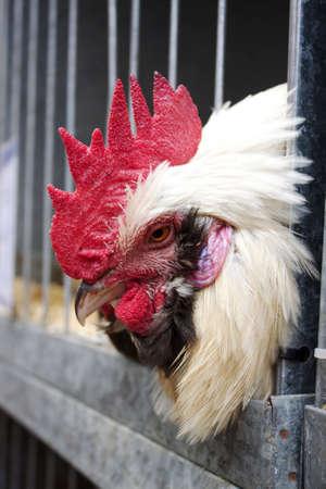 Rooster face  Stok Fotoğraf