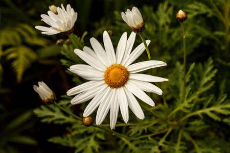 Daisy flower Stok Fotoğraf - 30539531