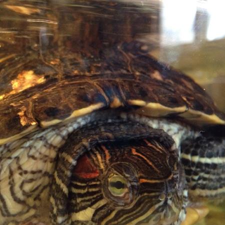 eared: Red eared slider turtle
