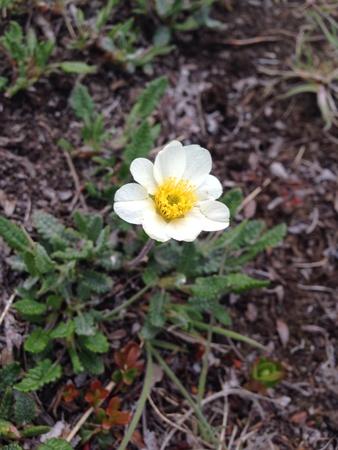 Alaska mountain wildflower