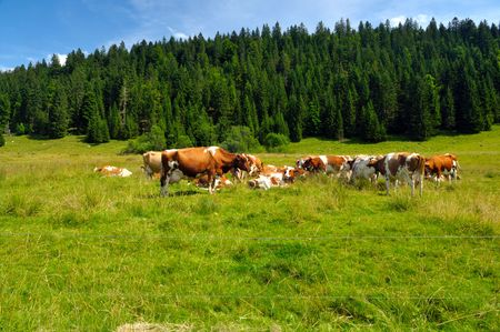Some cows grazing in French Alps photo