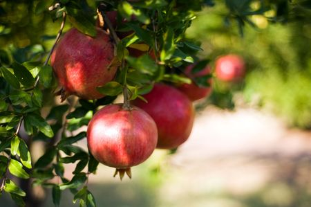 pomegranate fruit growing on a tree Stock Photo - 3797363