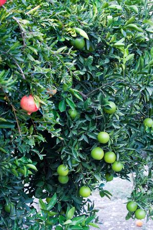 pomegranate fruit growing on a tree photo