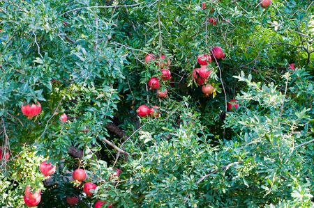 tabernacles: pomegranate fruit growing on a tree