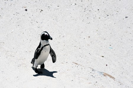 waddling: South Africa, Cape Town, Boulders Beach, Penguin Colonies.