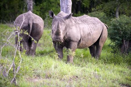 big five: Rhino, una delle cinque grandi Archivio Fotografico