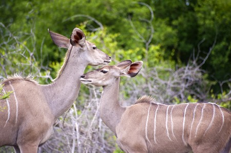 kruger park: Mother and Young Kudu in Kruger National Park, South Africa. Stock Photo