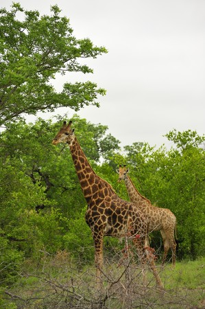 Girafes in Kruger National Park, South Africa. photo