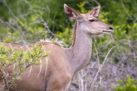 A female kudu, a large species of antelope, on a South African game farm photo