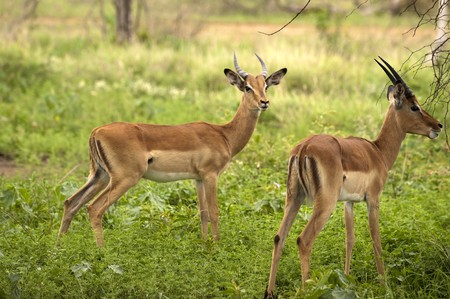young male impalas in Kruger park photo