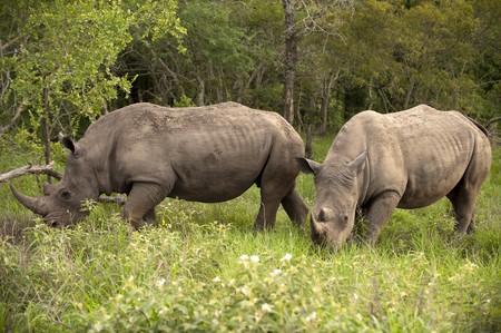 Rinocerontes en el Parque Kruger Foto de archivo - 4104396