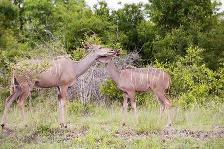 Kudu mother with her cub photo