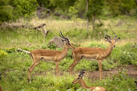 Young male impala photo