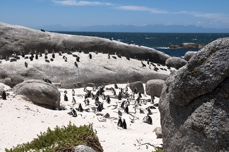 waddling: jackass penguin at The boulders beach