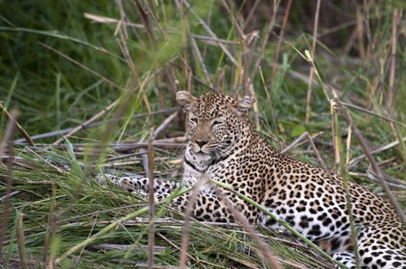 vicious: Leopard resting in the green at Kruger national park, South Africa