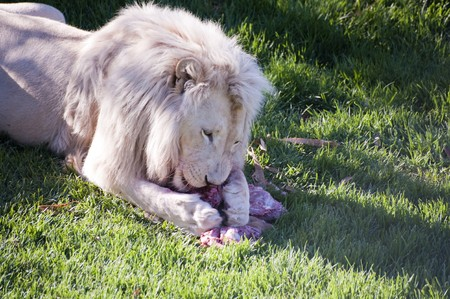 buck teeth: A white lion eats a wildebeest carcas.