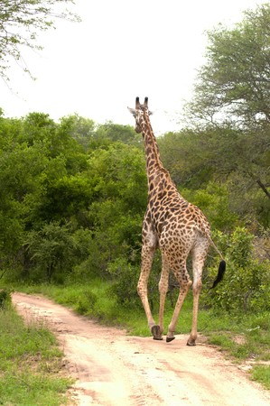 girafe: Girafe in kruger national park Stock Photo