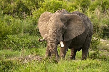 Elephant in Kruger Park photo