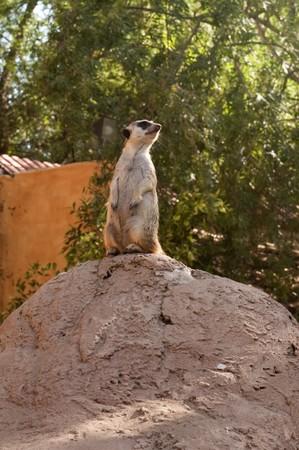 mangosta: Meerkat, Suricata suricatta, meloncillo close-up