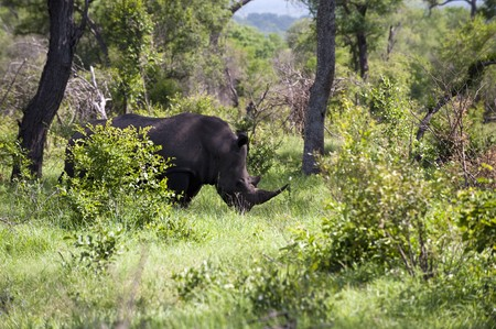 Rhino in Kruger Park photo