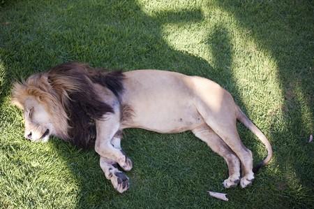 captive animal: African Lion (panthera leo) lying on the ground sleeping - captive animal