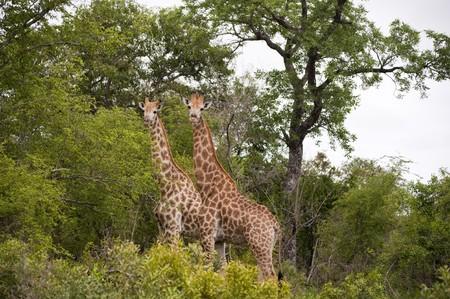 Giraffe in kruger national park photo