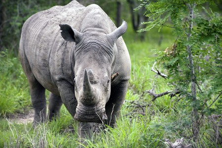 Rhino in Kruger Park, South Africa photo