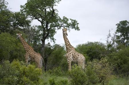 Giraffe in Kruger Park photo