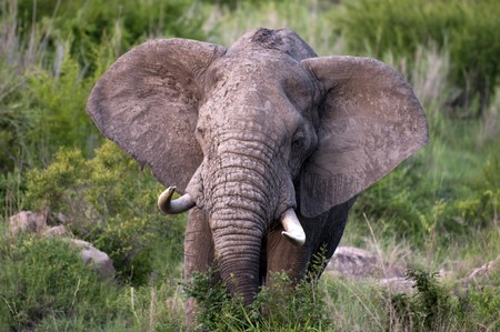 Male Elephant in Kruger Park Stock Photo