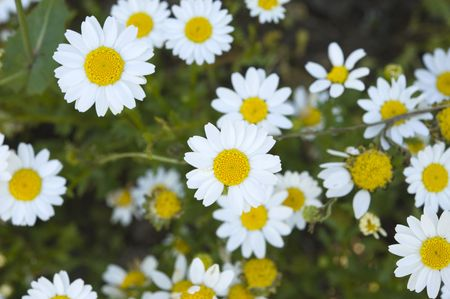daisys: Pretty spring field carpeted with wild daisys.