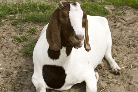 billygoat: Brown and white goat with horns sits it a white farm fence.