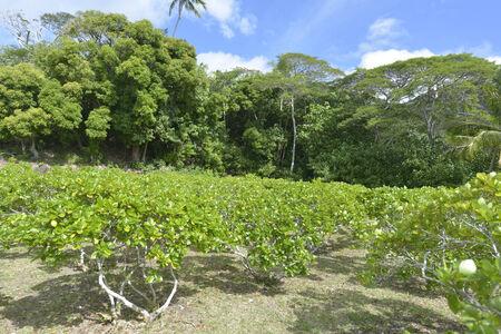 tahitian: Tahitian monoi flower garden in Bora bora