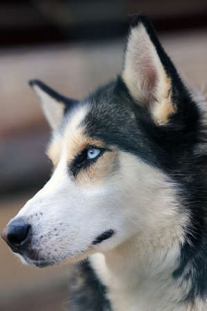 Siberian Husky breed is a beautiful dog with a thick coat that comes in a multitude of colors and markings Stock Photo