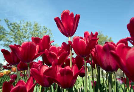 International Istanbul Tulip Festival April 2016, Istanbul, Turkey