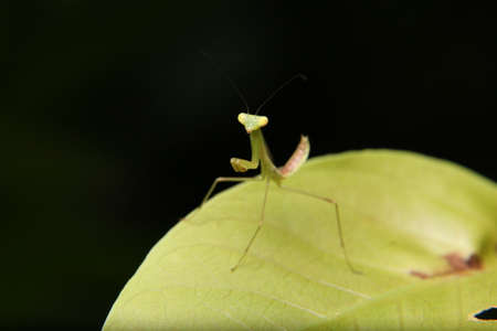 mantid: Macro Close Up Small cute baby Praying Mantis on green leaf over black background. Selective Focus