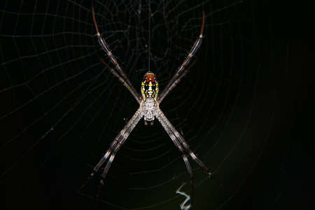 lince rojo: Macro cerca de colorido Lynx Spider en web sobre fondo negro. Enfoque selectivo