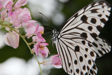 background pattern: Idea leuconoe, Tree Nymph butterfly, Rice Paper butterfly on pink flower over a blur background. Selective focus Stock Photo