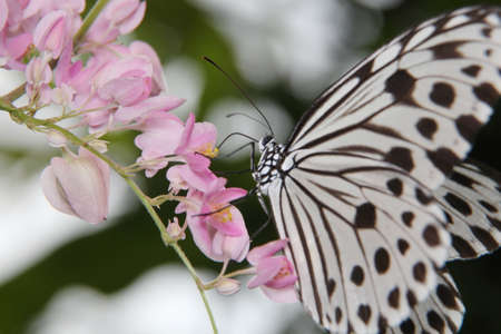 Idea leuconoe, Tree Nymph butterfly, Rice Paper butterfly on pink flower over a blur background. Selective focus Stock Photo