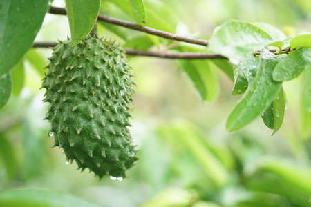 Soursop  guanabana  graviola exotic fruit hanging from tree - growing and harvesting your own food, self-sustainability, rural country life Reklamní fotografie
