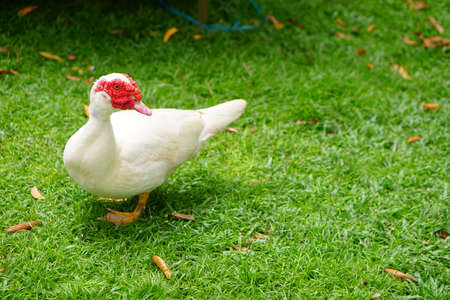 The Muscovy Duck (Cairina moschata) resting inside a petting zoo. Stockfoto