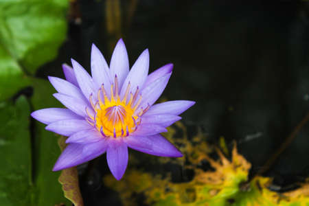 Purple lotus with yellow pollen on surface of pond. Water Lily