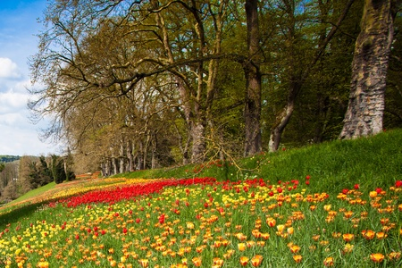 Wild Tulips Field at Islet Mainau, Germany photo
