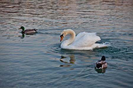 vergezeld: A swan accompanied by wild ducks Stockfoto