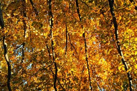 Yellow autumn leaves photo