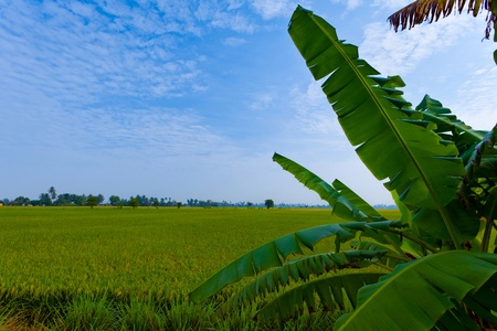 A paddy field in Malaysia with banana leaves in the foreground photo