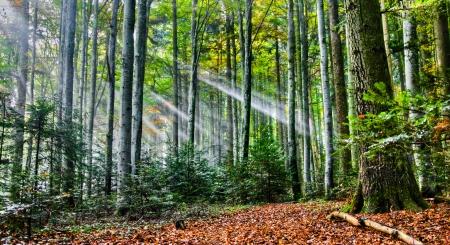 Sonnenstrahlen im Wald Standard-Bild - 11882543