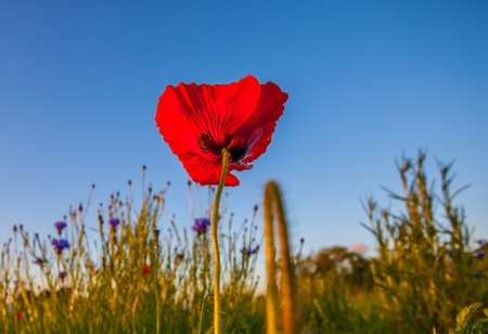 Wild poppies at dawn with sun rising in the background at a meadow near Prangins, Switzerland photo