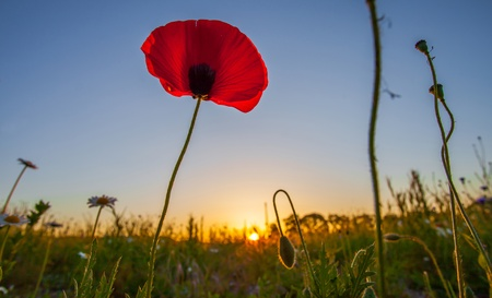 Wild poppies at dawn with sun rising in the background at a meadow near Prangins, Switzerland Stock Photo - 13680822